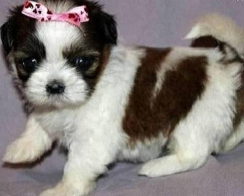 ?X. M.A.X .s.h.i-h..t.z.u.. P.upp.i.e.s For F.r.e.e, , Ready Now 12 Weeks Old #(912)388-6984