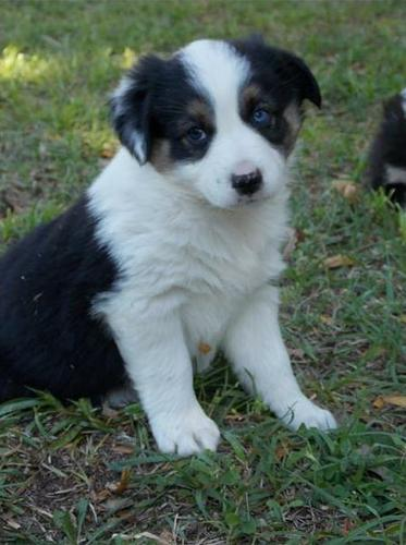 CUTIE A.U.S.T.R.A.L.I.A.N S.H.E.P.H.E.R.D PUPPIES: contact us at (508) 622-5152