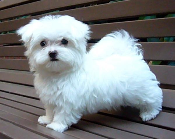 Cute M.A.L.T.E.S.E Puppie.s (774) 318-6873