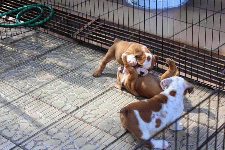 * # #  Quality Englishh Bulldoggss Puppies:....** (301) 966-3163