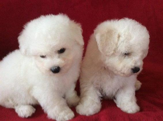 Bichon Frise Puppies