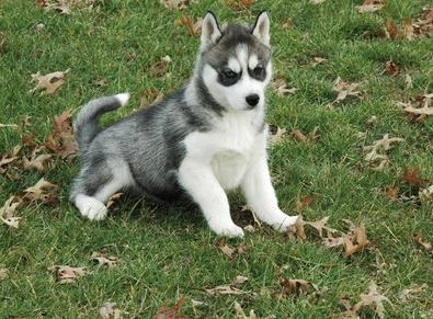 Purebred Siberian Husky  Puppies For Sale