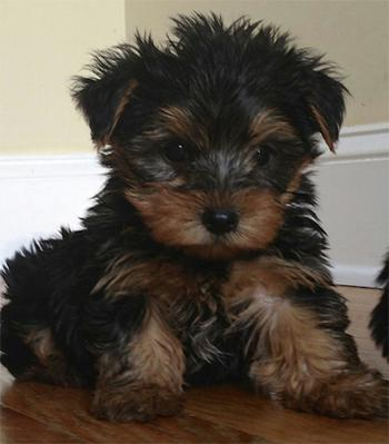 CUTE Y.O.K.I.E. Puppies: contact us at (803) 828-2681