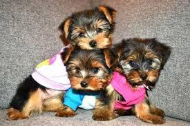 BEAUTIFUL Y.O.R.K.I.E Puppies: contact us at (512) 553-3823  any time