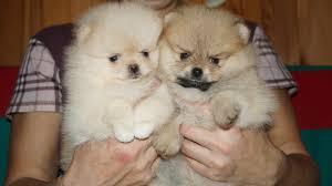 Healthy free M/F P.O.M.ERANIAN Puppies!!! (301) 539-2619