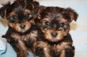 Female and Male Y.o.rkkies Pu.pp.ies in need of a good home interesting770) 232-6588