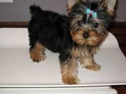 teacup yorkie pups ready now 5.1.0.9.9.9.4.9.2.4