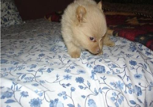 !!Male and Female Pomeranianss Puppies Available (507) 502-2278