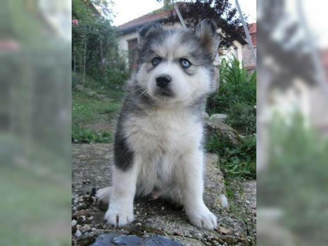 !!!!! four siberians huskys Puppies:!!!