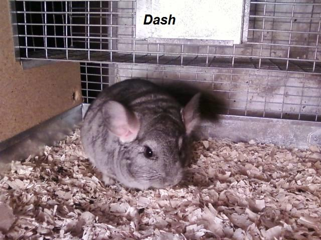 Standard Gray Chinchillas