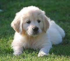 Adorable golden r.e.t.r.e.i.v.e.r Puppies. Contact us at (612) 568-8206