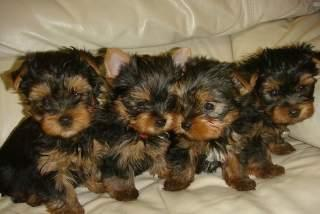 ???Y.o.R.k.i.e P.upp.i.e.s For F.r.e.e, Ready Now 3 months Old # (260) 267-0410