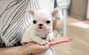 CUTIE F.R.E.N.C.H B.U.L.L.D.O.G Puppies: contact us at (804) 999-9516