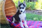 13weeks  old husky looking for a new home (979) 335-5973