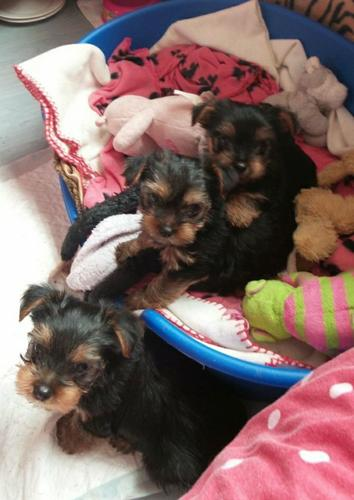 ?Y.o.R.k.i.e P.upp.i.e.s For F.r.e.e, (782 821 0989/Ready Now 12 Weeks Old
