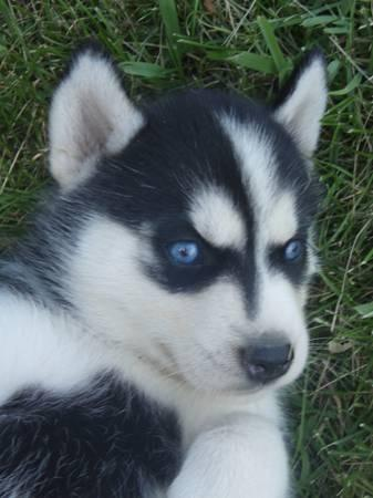 !!FREE Quality siberians huskys Puppies:!!contact us at (443) 687-9104