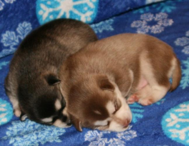 Free Fantastic Female and Male H.u.s.ky Pu.pp.ies for new home %$% (240) 257-3706