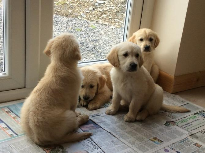 Pedigree Golden Retriever Pups   looking for a new home