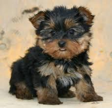 CUTE T.E.A.C.U.P Y.O.R.K.I.E. PUPPIES (502) 430-1263