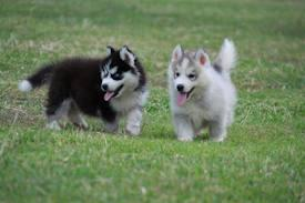 ???Beautiful Trained??FREE?.?.?S.I.B.E.R.I.A.N?.??H.U.S.K.Y ?=??Pu.ppies searching for new homes. ??