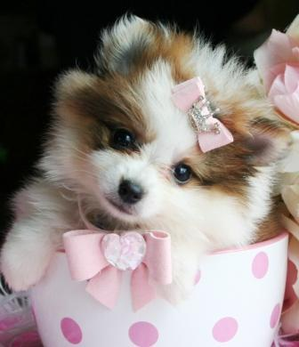 Cute and Charming Pome-ranian puppie