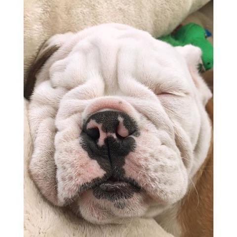 Affectionate M/F English B.u.l.l.d.o.g Puppies!!!3316251554