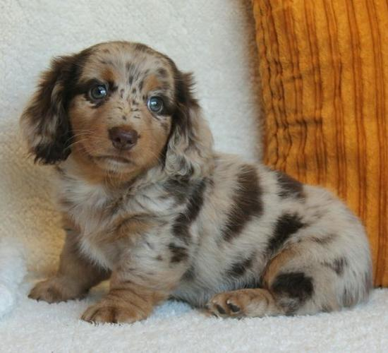 Beautiful - Cute Mini Dachshund Puppies Available.