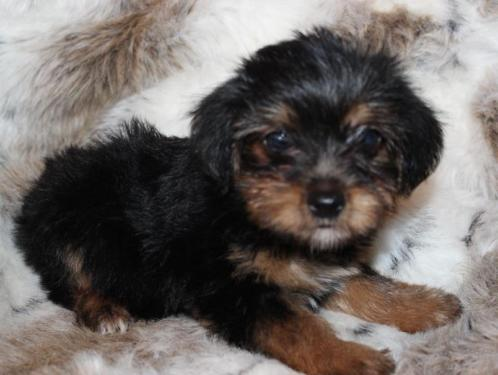 Y.o.R.k.i.e P.upp.i.e.s For F.r.e.e, Ready Now 12 Weeks Old # (98)200 6985