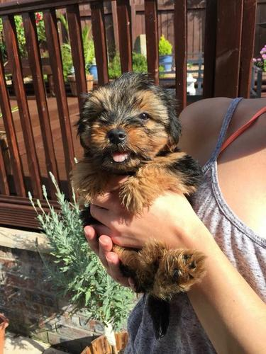 house trained teacup yorky puppies looking for good homes...............(713) 909-3513*
