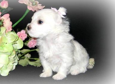 Malteser Both males and females puppies