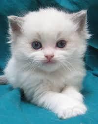 Stunning Persian Kittens For adopt