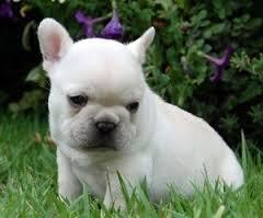 PLAYFUL FRENC.H BULLDO.G PUPS(205) 810-0379 FOR FREE,,