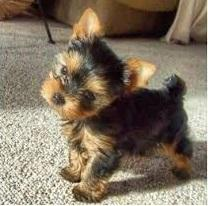 Loving Tea Cup Yorkie Puppies Text::302-583-2988