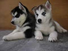 Gorgeous Siberiaan Huskee puppies looking for good homes//(973) 346-2587