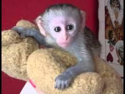 Capuchin/,- Monkeys Available!/Text 302-217-3030