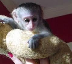 Capuchin/, Monkeys// .Available!.Text 302-217-3030