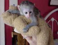 Capuchin/, Monkeys/ Available!.Text 302-217-3030,,