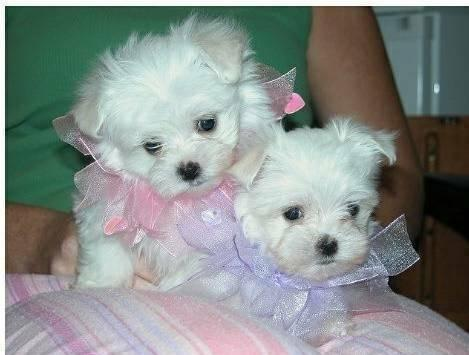 CUTE Quality ..M,,A..L..TESEE P.upp.i.e.s  Ready Now 12 Weeks Old #303-500-7828