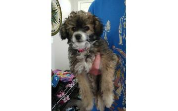 2 female Poodle Yorkie mixed puppies in need of rehoming