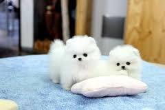 Adorable poms ready for adoption