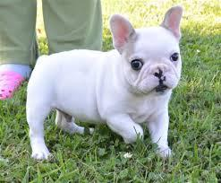Free Healthy French Bulldong Puppies***-
