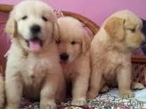 Free G,olden retr,iever Gorgeous Puppies Not For Sell Free) Need Home