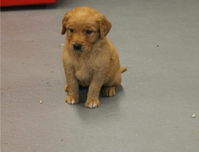 Quality golden retriever Puppies for adoptioncontact us at (202)5968337