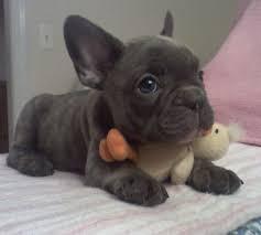 CUTIE F.R.E.N.C.H B.U.L.L.D.O.G Puppies: contact us at (234)281-0450