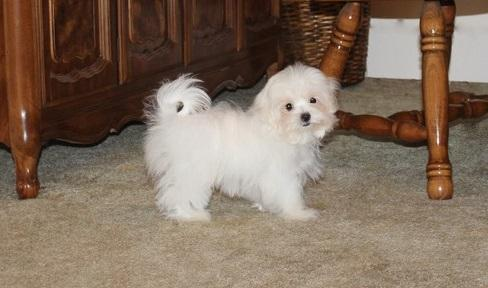 Home raised Maltese puppy ready for a new and forever home
