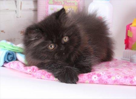 CFA Dollface Teacup Black Persian Kittens for Sale.