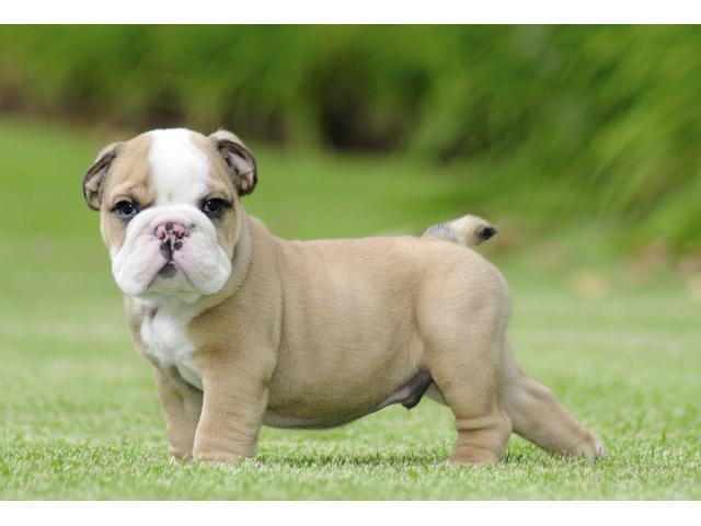 *Top Quality BULLLDOG ENGGLISH puppies