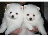 Male and Female Pomeranianss Puppies Available (501) 777-7650
