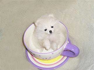 Healthy P.O.M.E.R.A.N.I.A.N puppies!!! ## (240) 542-7487