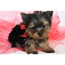 Top Quality Y.o.r.k.i.e Pups Ready now (302) 585-5821